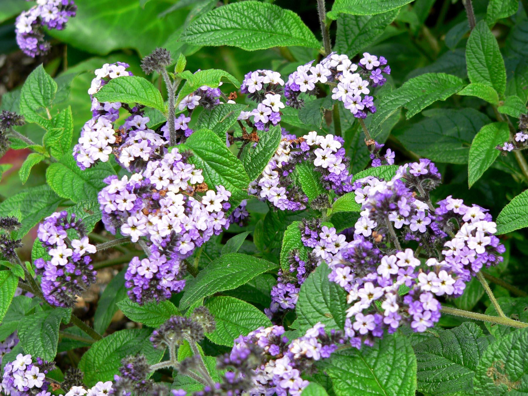 Heliotropium arborescens | Heliotrope| plant lust