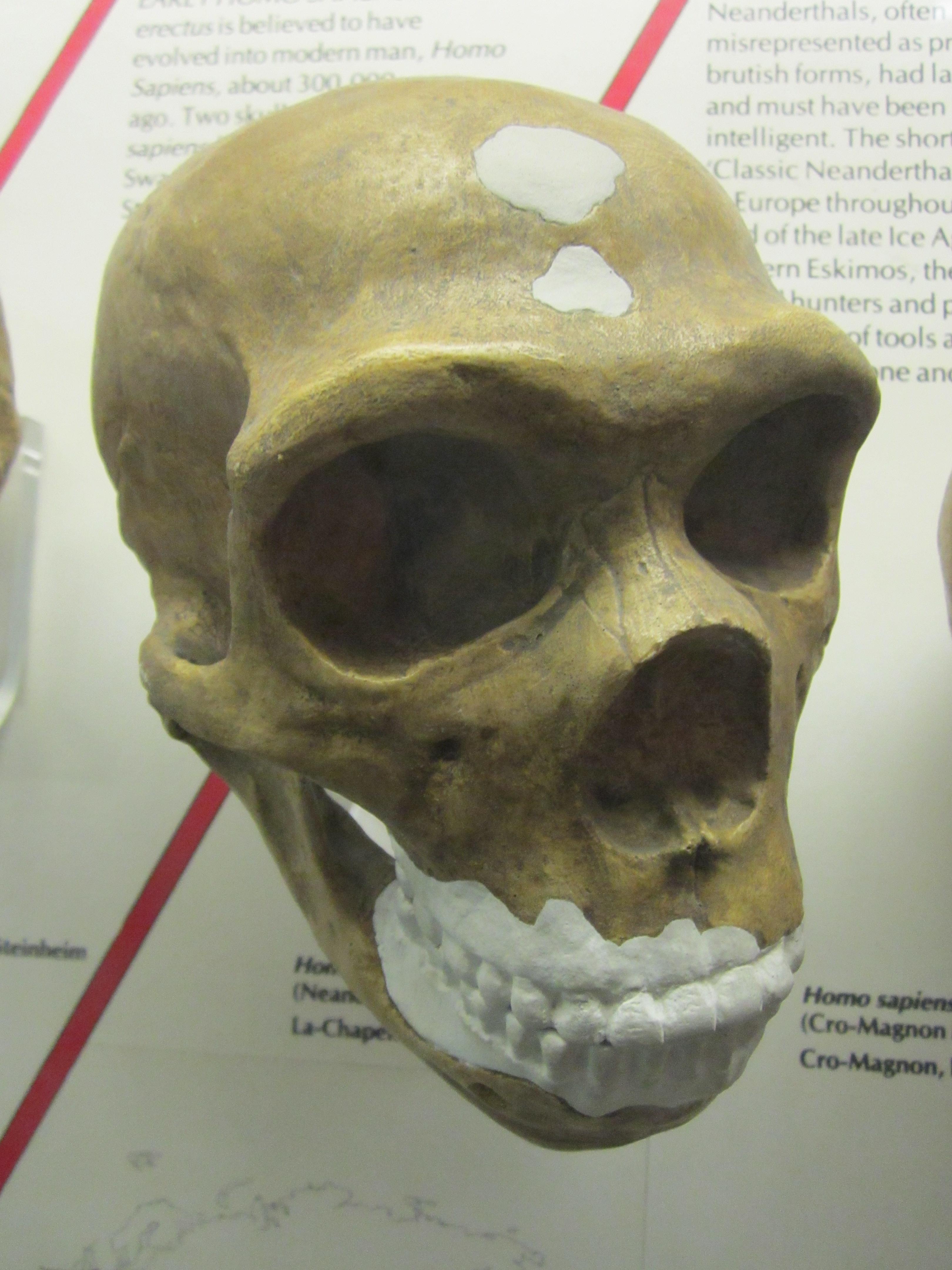 File:Homo sapiens neanderthalensis skull cast, World ... Homo Sapiens Neanderthalensis Skull