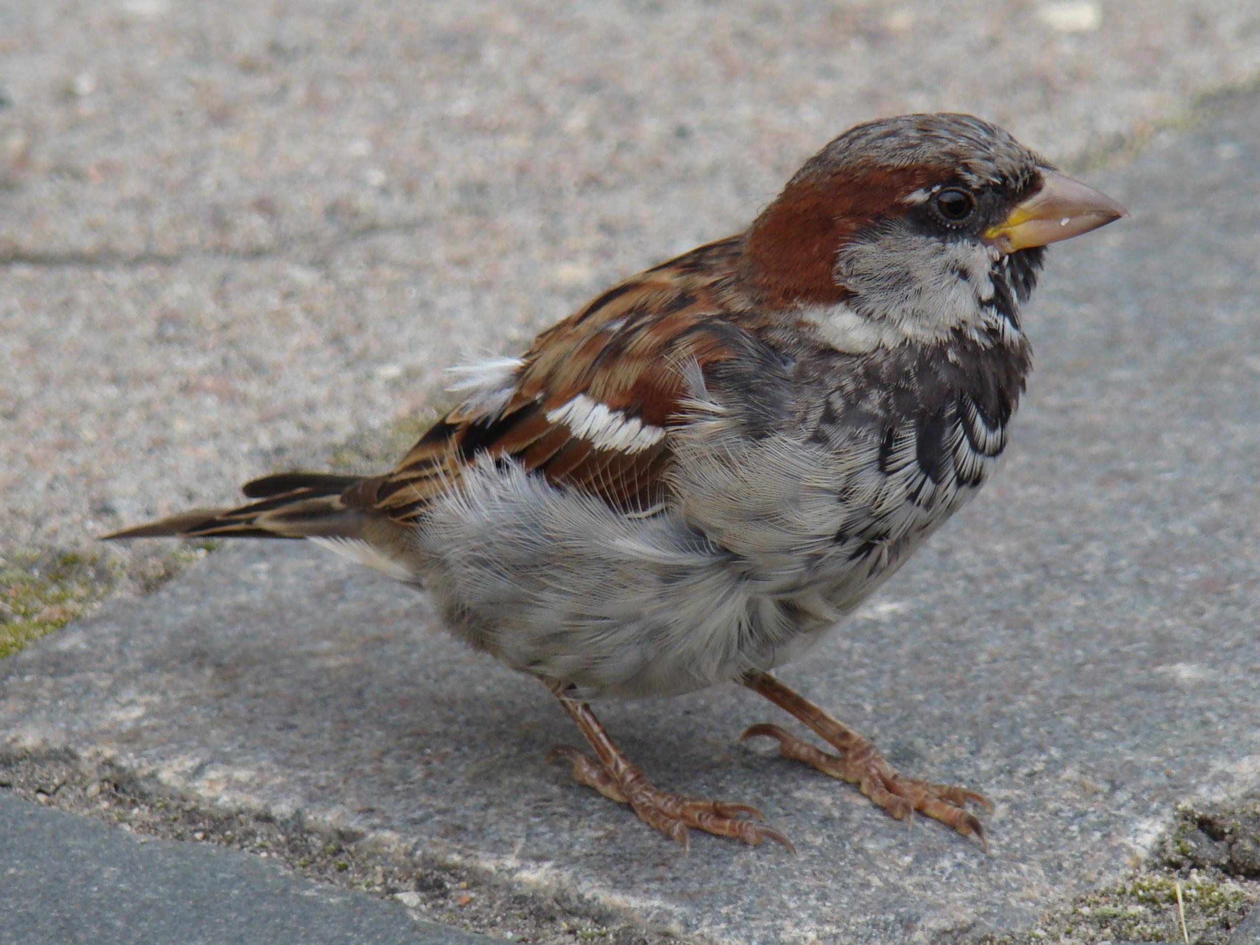 Sparrow Lifespan House Sparrow Like This House Sparrow