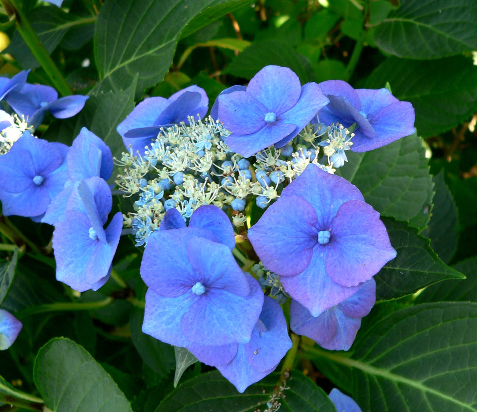 hydrangea macrophylla 39 mowe 39 mowe bigleaf hydrangea. Black Bedroom Furniture Sets. Home Design Ideas