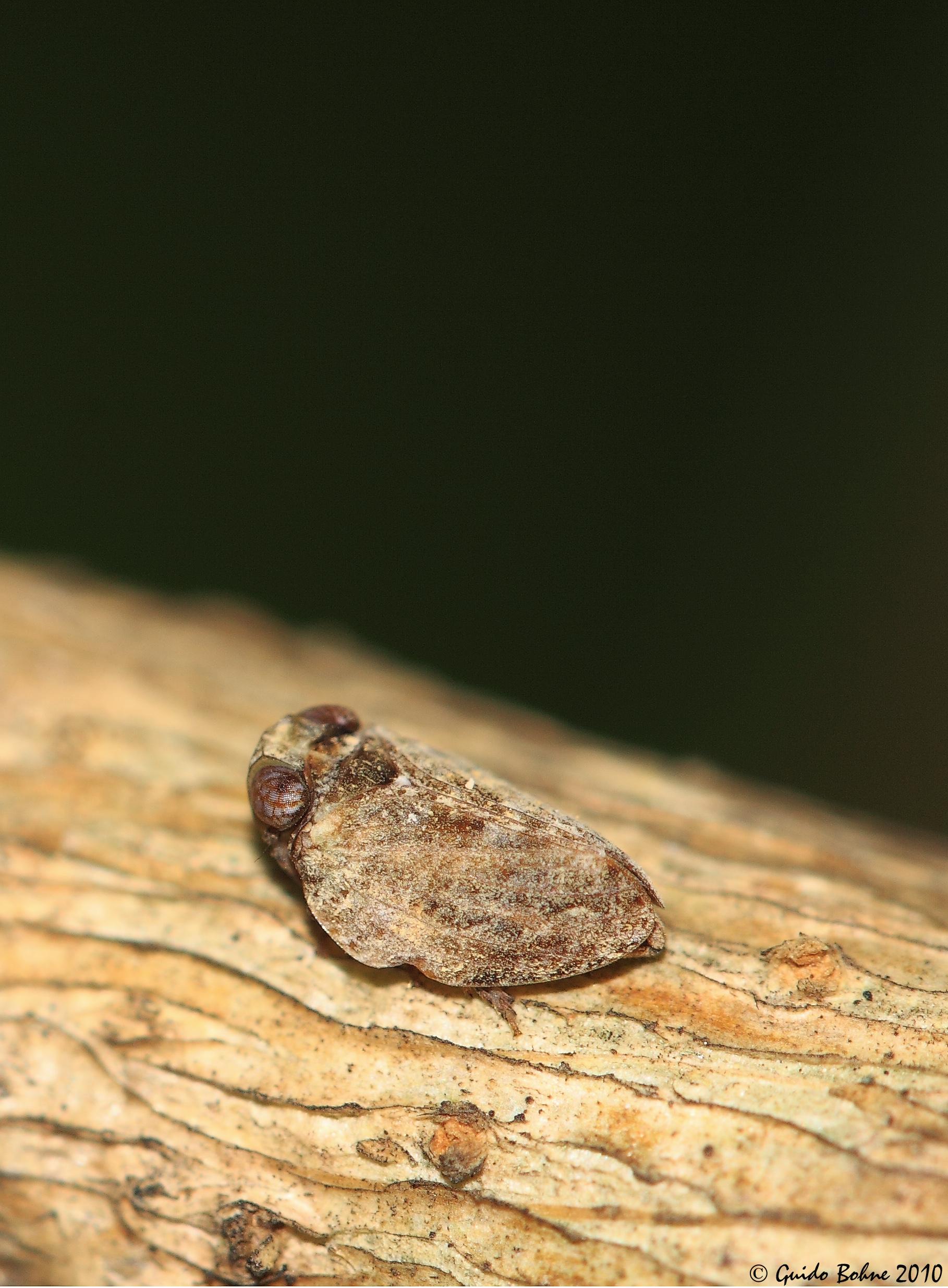 File:Issid planthopper indet. in my garden (W-Java) (5098538101).jpg ...