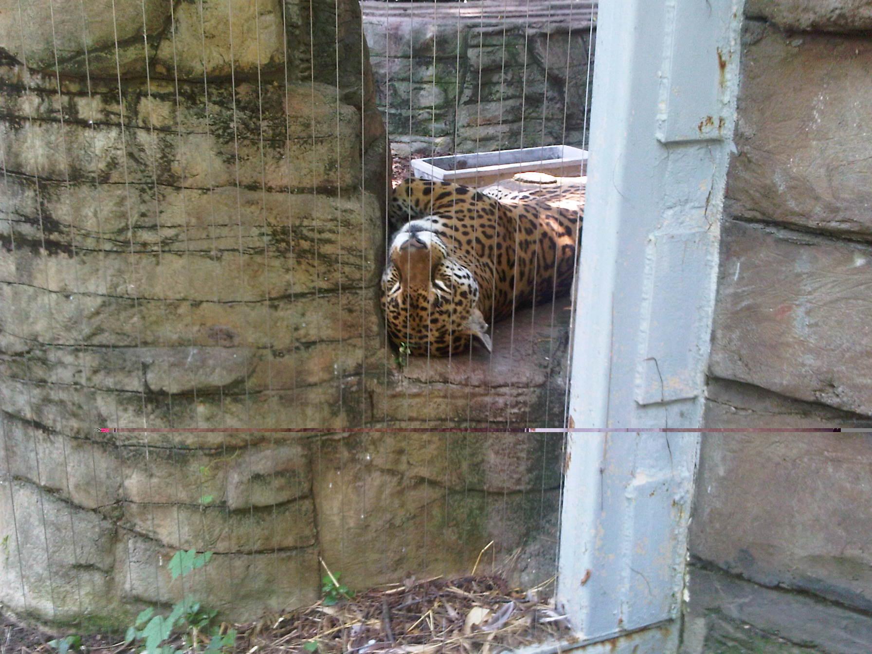 File:Jaguar At The Louisville Zoo