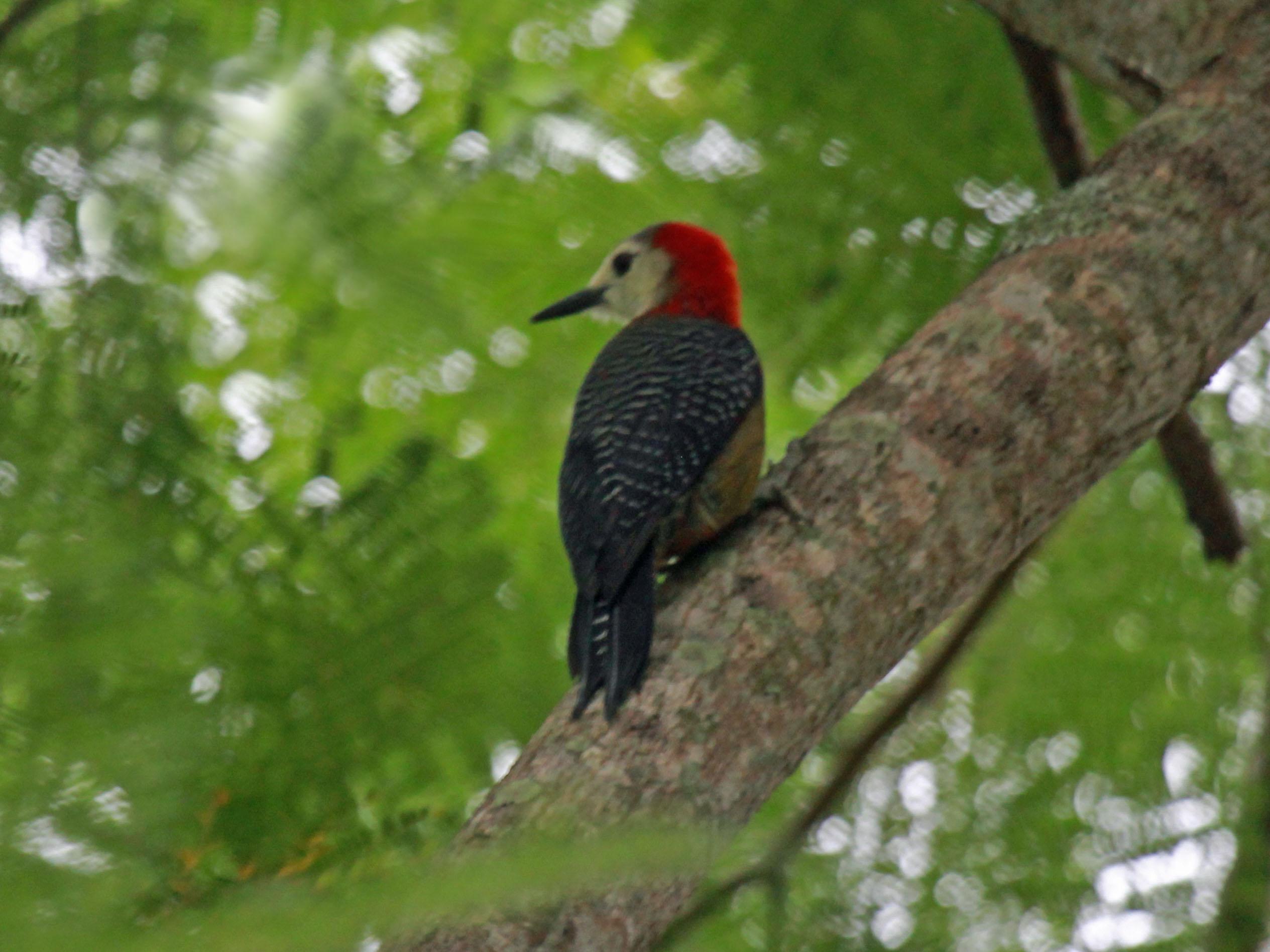 Jamaican Woodpecker RWD2.jpg © DickDaniels (http://carolinabirds.org/)