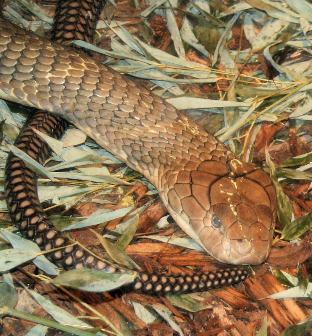 trypophobia king cobra snake