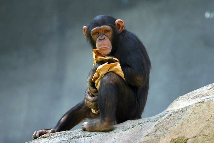 File:Lightmatter chimp.jpg