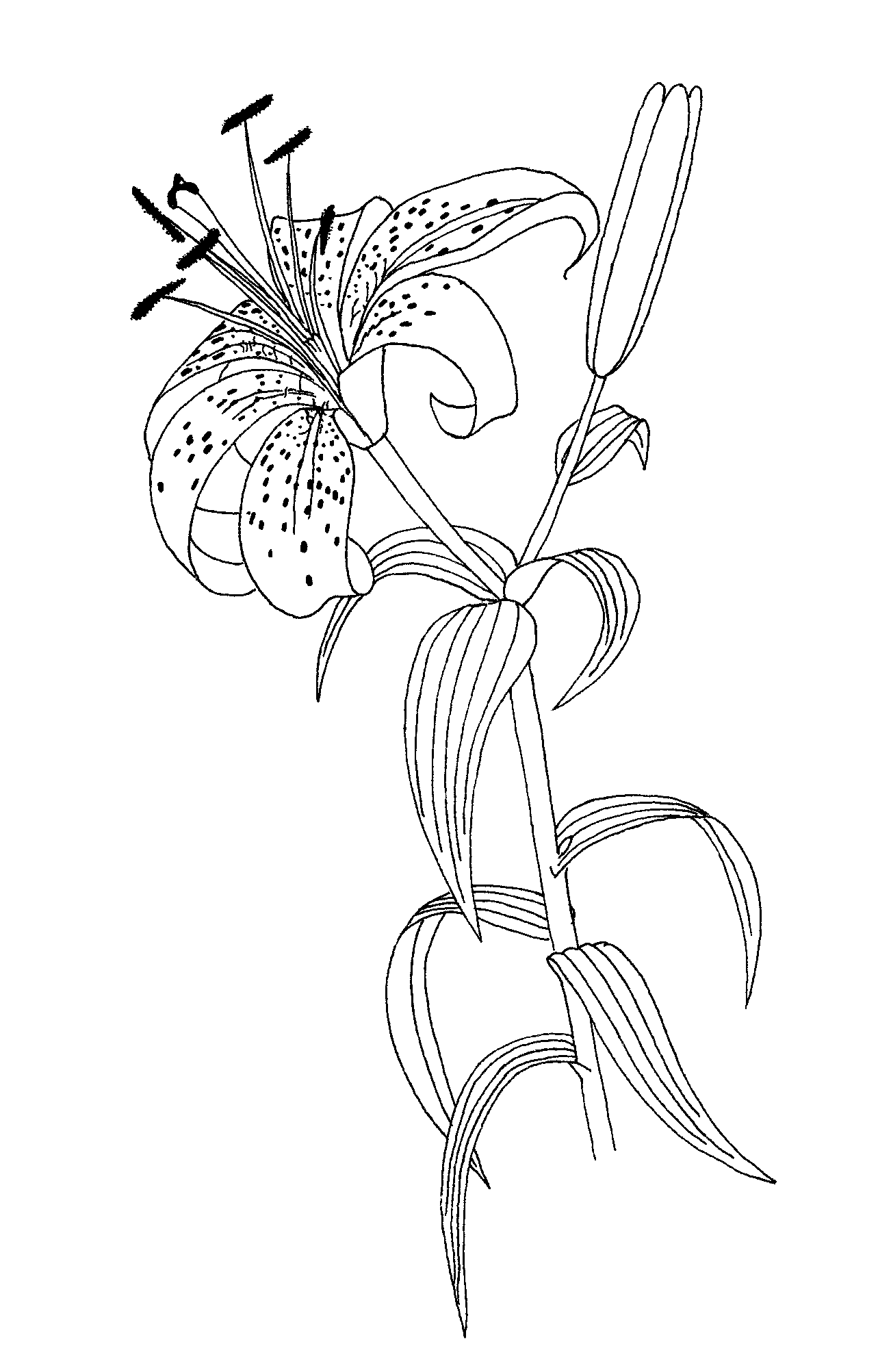 carnivorous plants coloring pages | Pitcher Plant Coloring Page Sketch Coloring Page