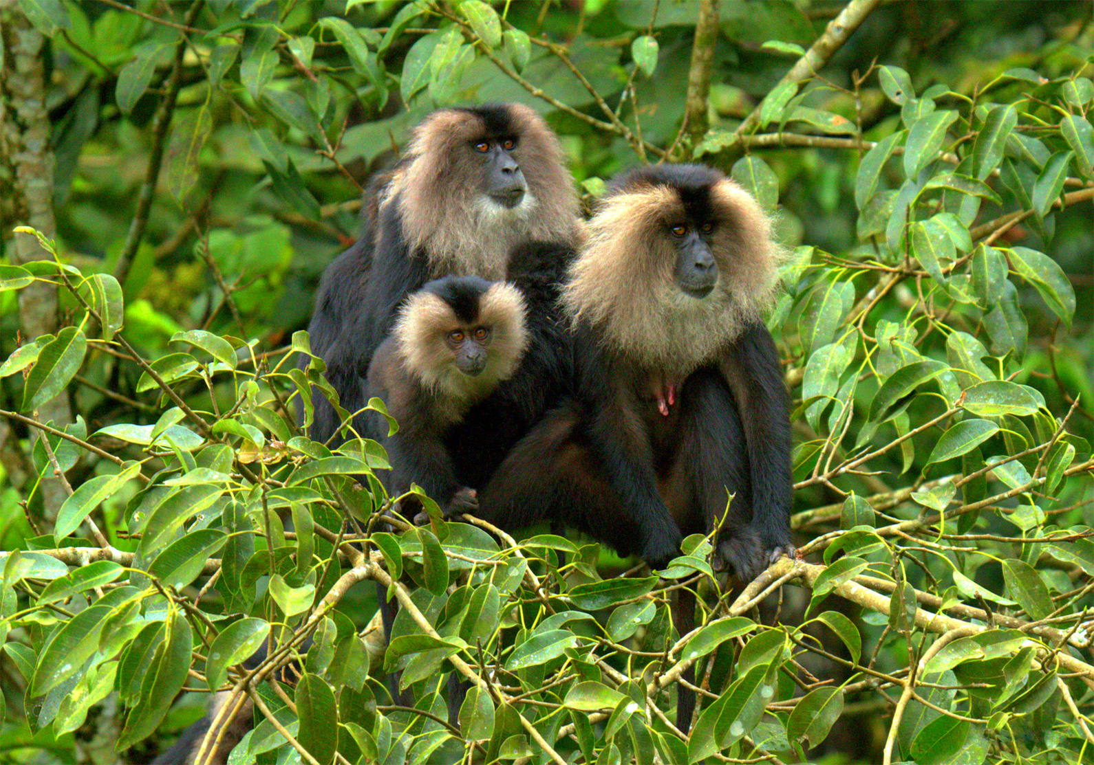 Lion-tailed macaque is found in New Amarambalam Wildlife Sanctuary