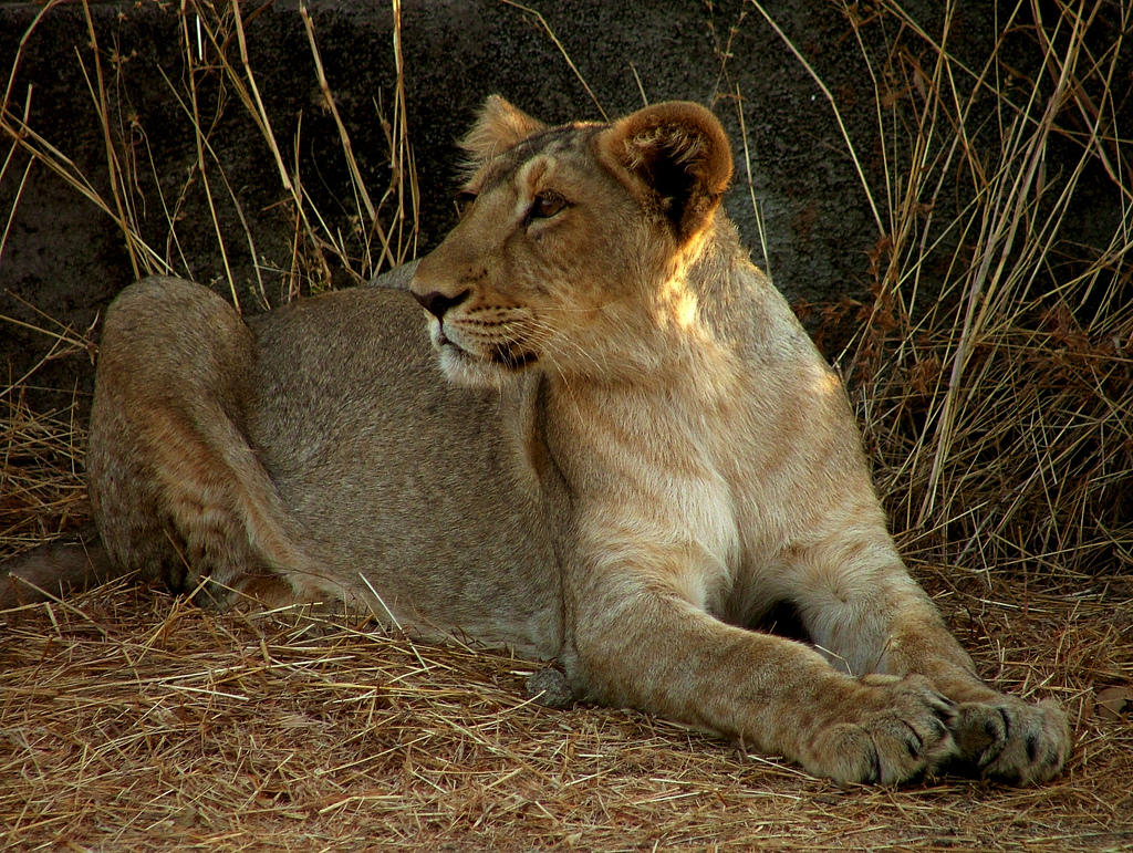 http://upload.wikimedia.org/wikipedia/commons/f/fb/Lion_Gir.jpg
