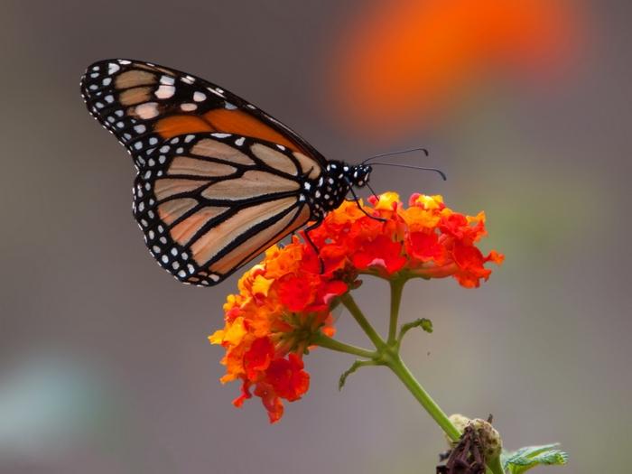 Mariposa Monarca (Danaus plexippus) (4032238467)