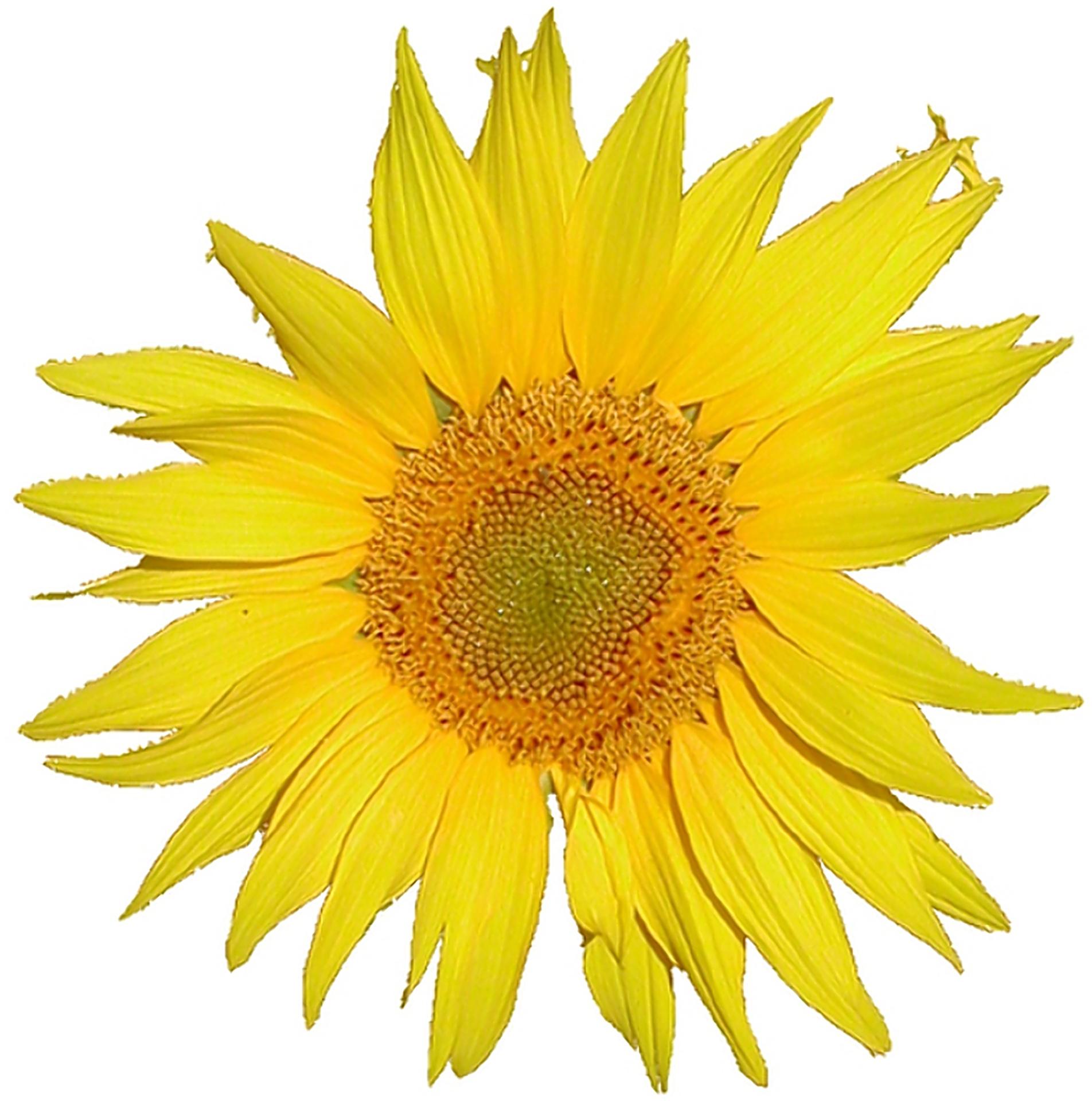 Filemediawiki Logo Sunflower Tournesol 5x Rev2g Wikimedia Commons