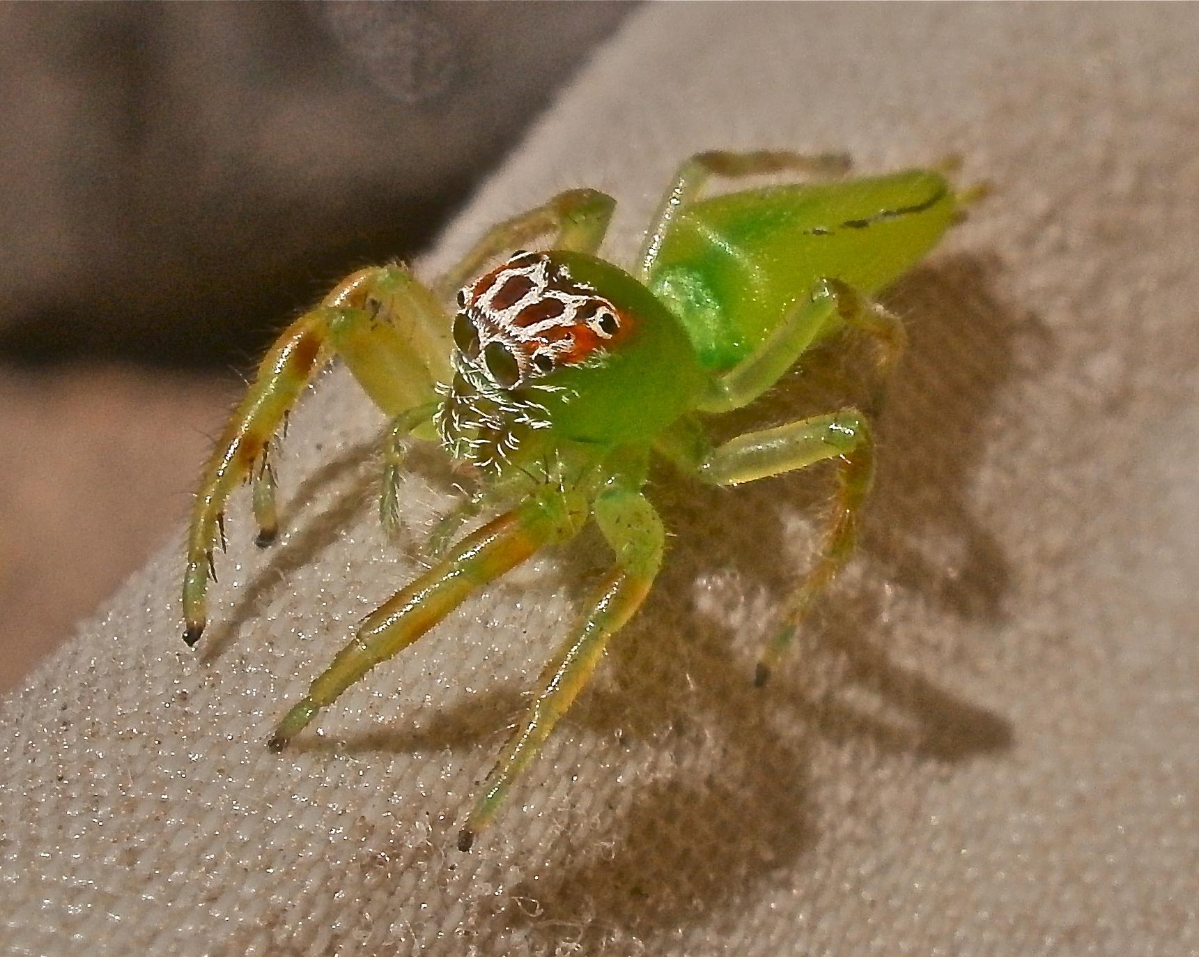 Mopus_Mormon_Spider.jpg