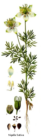 Nigella sativa from Koeh-227.png