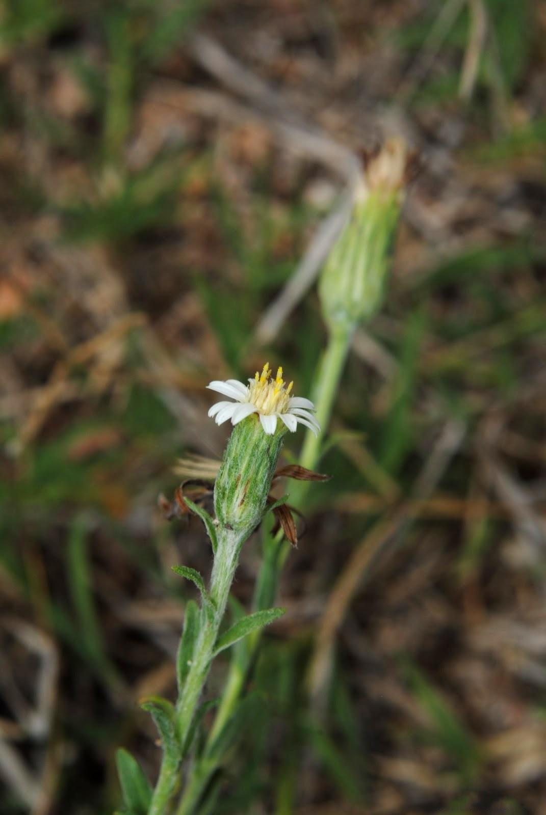 File noticastrum gnaphalioides soriano palmar suelo for Suelo pedregoso