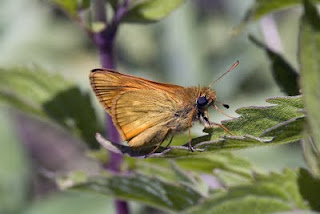 <i>Ochlodes venatus</i> Species of butterfly