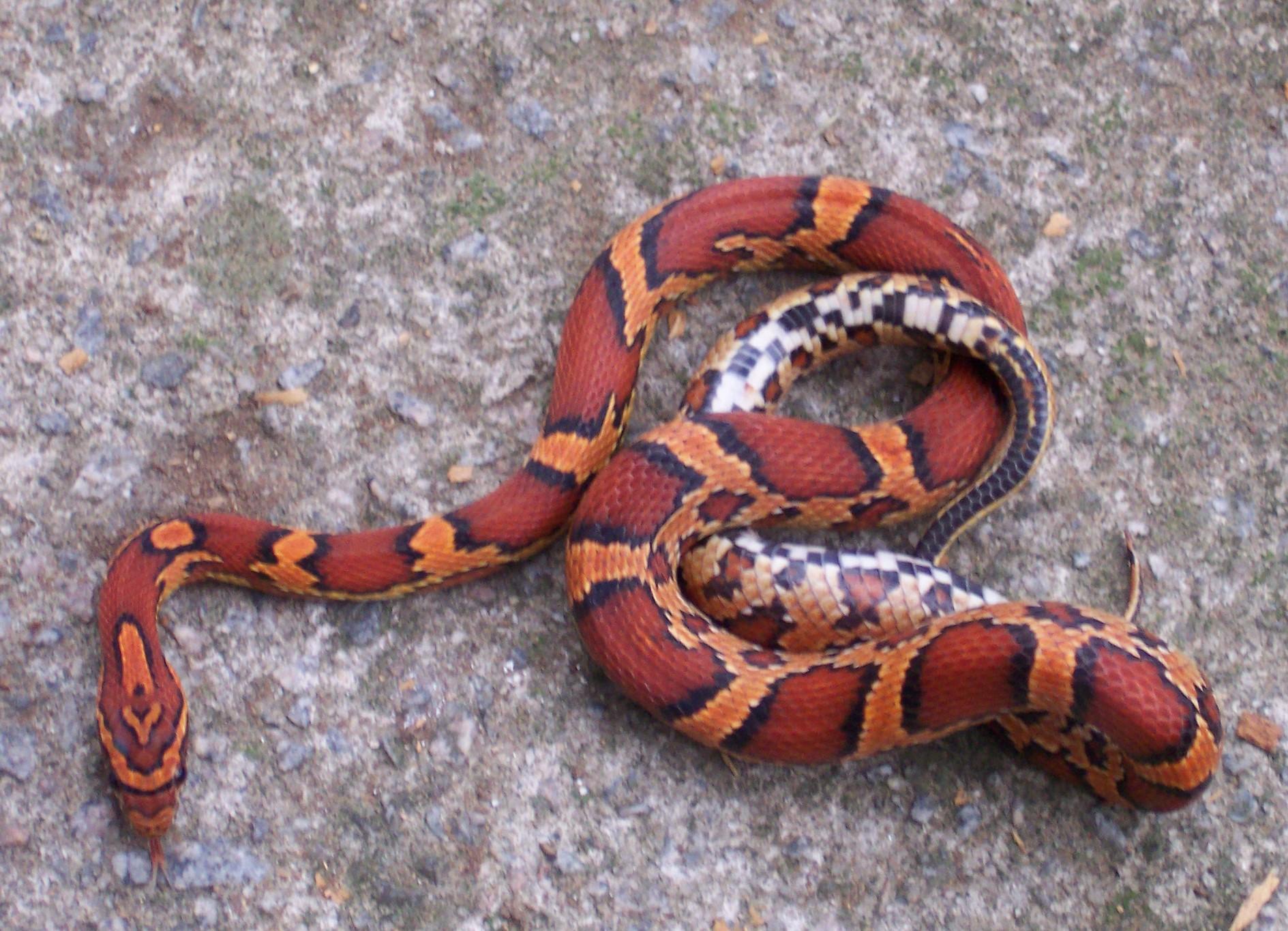 File:Okeetee corn snake.jpg