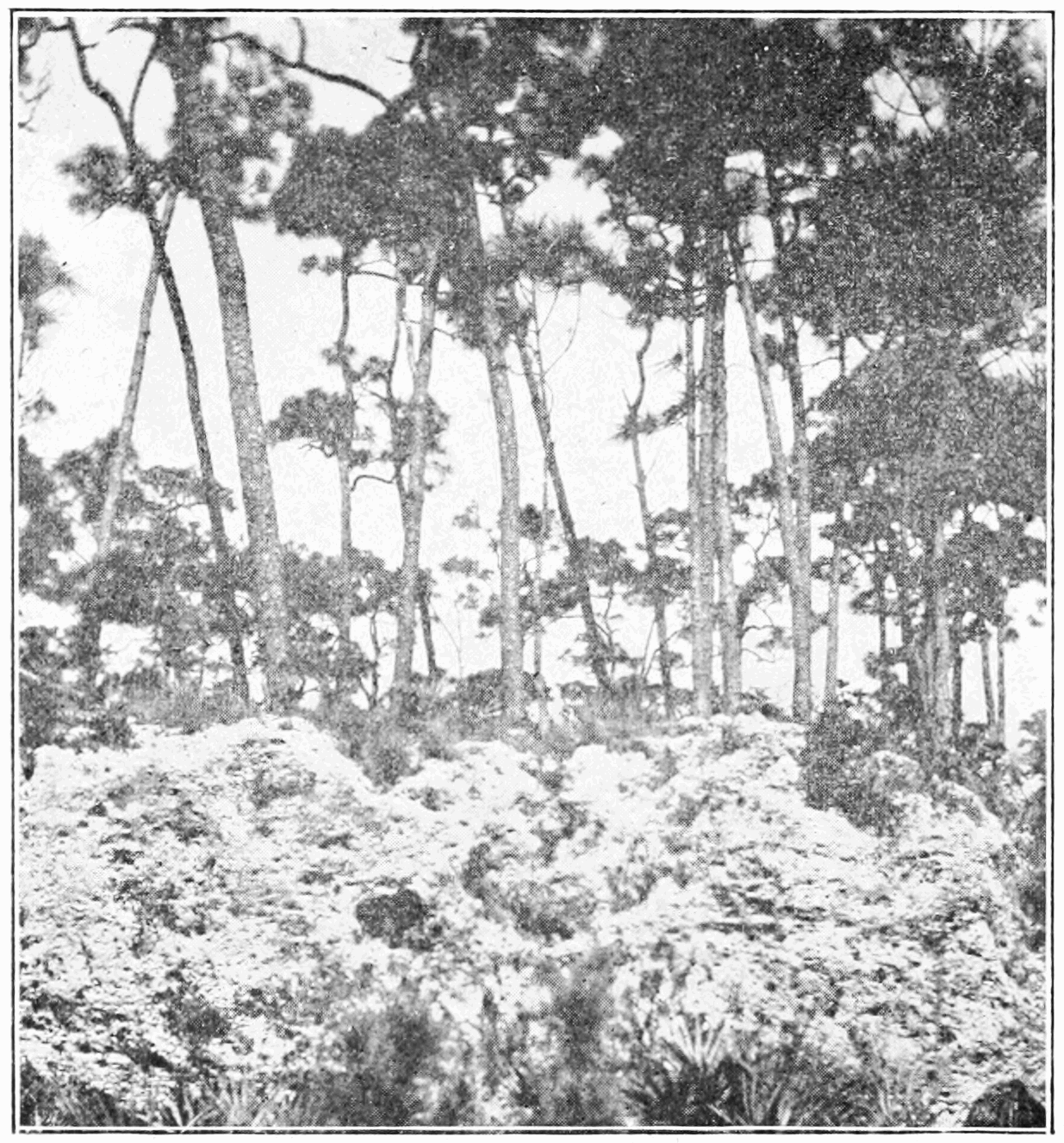 PSM V85 D364 Pure stand of Pinus elliottii with dense undergrowth in Florida.png