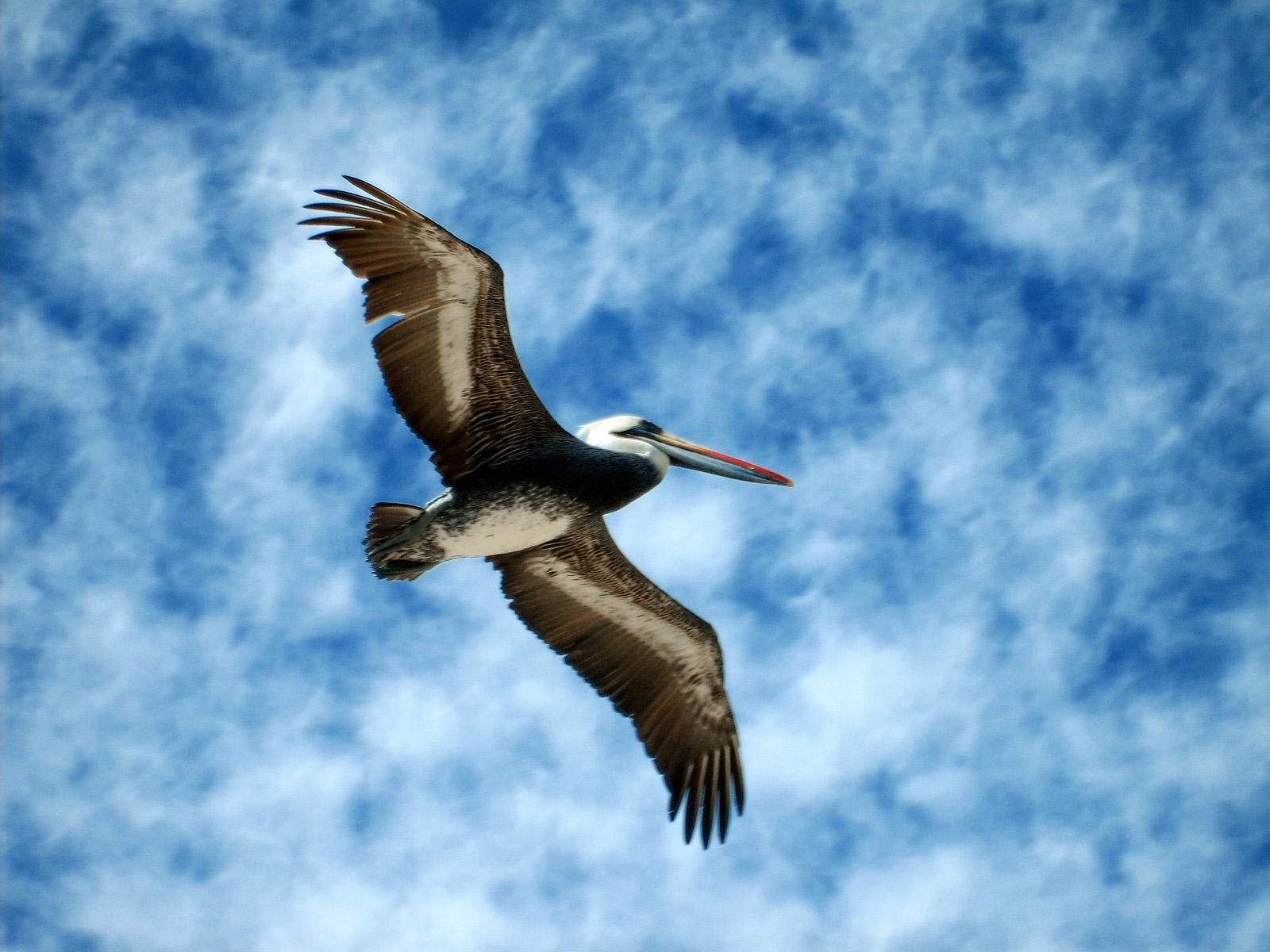 Fotos de natureza pelicano - Fotos de pelicanos ...