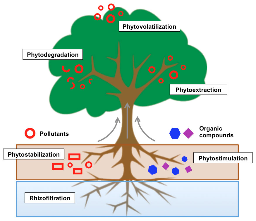 phytoremediation process Furthermore, during the process of phytoremediation, a contaminated site is not available for sale or rent, which can cause problems for economic development  the challenge for plant scientists is therefore to improve the plants' performance in removing toxicants from the soil, which will require more basic research and knowledge on the .