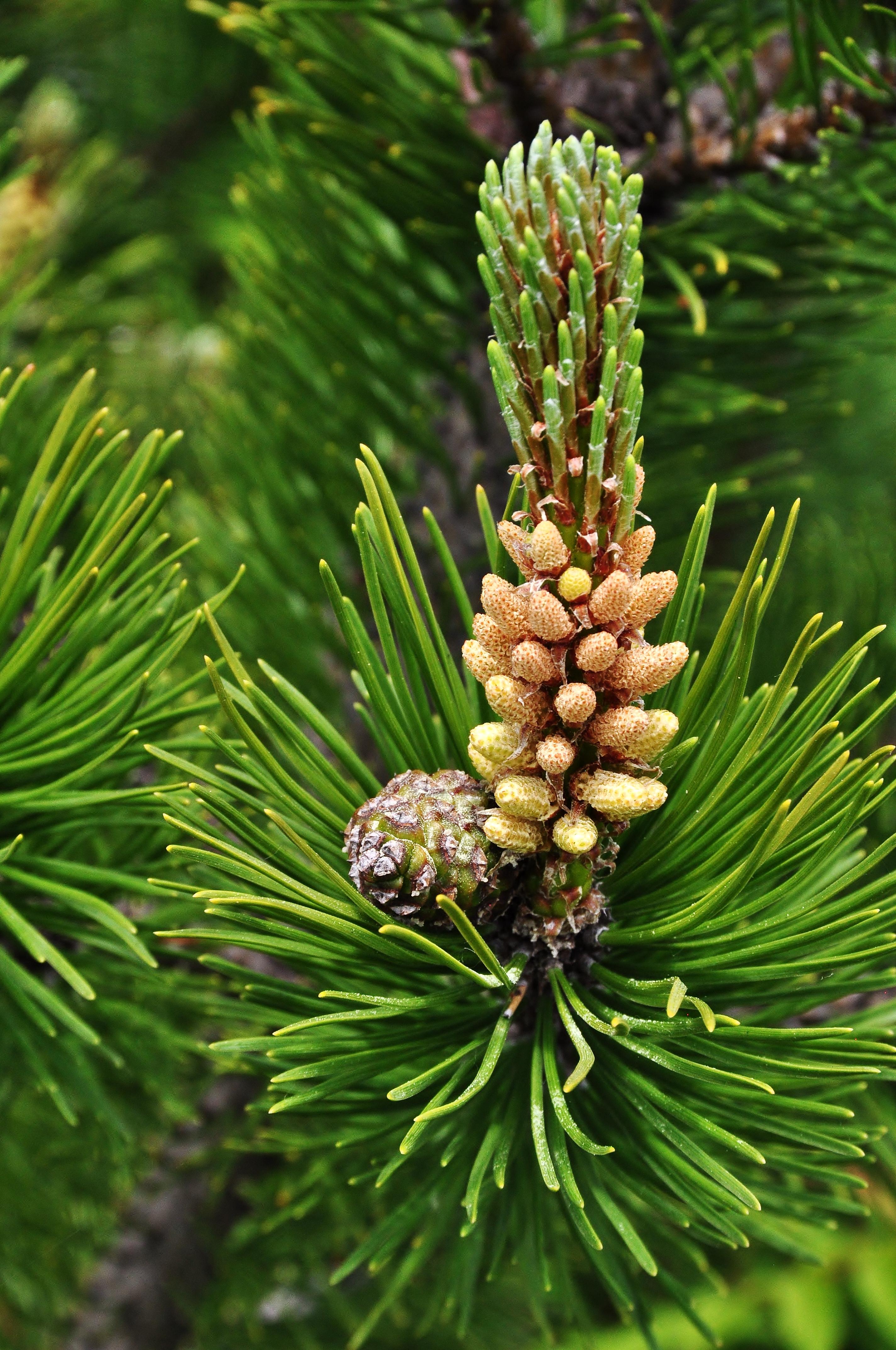 Pinus Pollen File:pinus Mugo Pollen Cones2