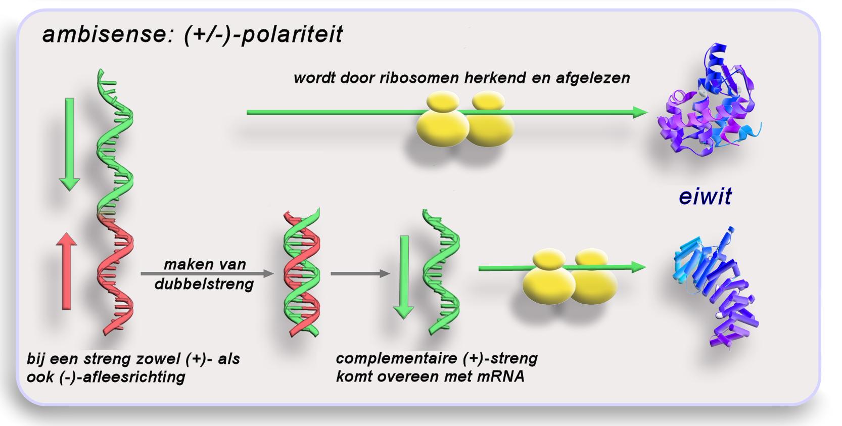 Polaritaet ambisense nl.png