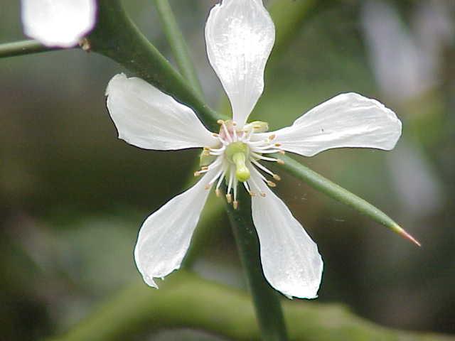 fleur du poncirier