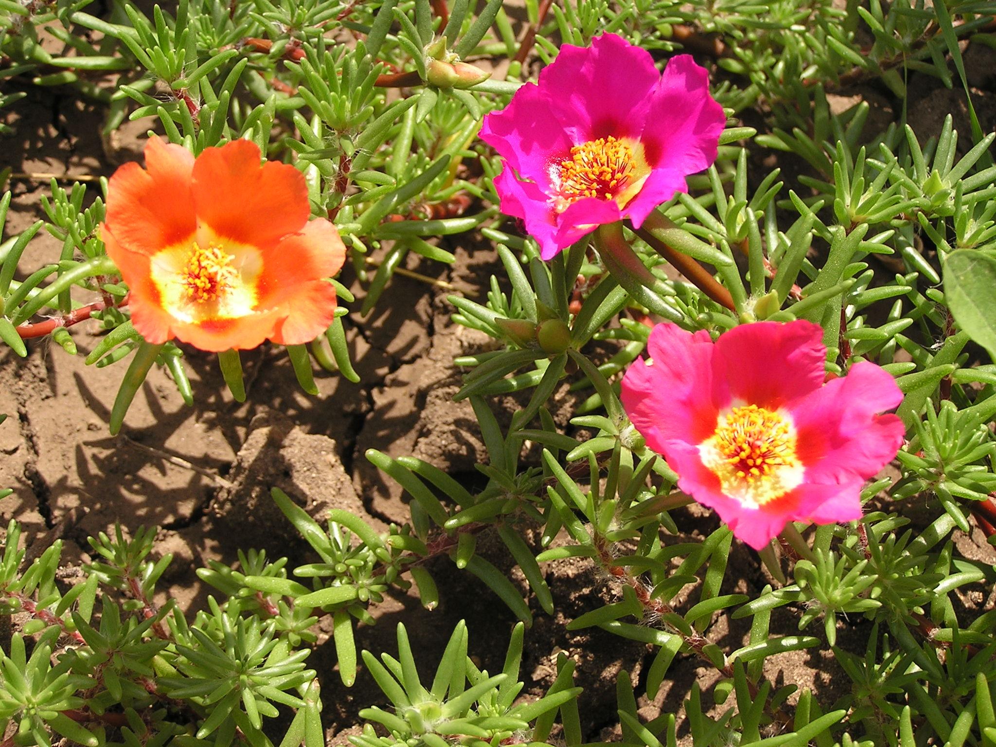 File portulaca grandiflora in sedovo wikimedia for Plante grasse exterieur