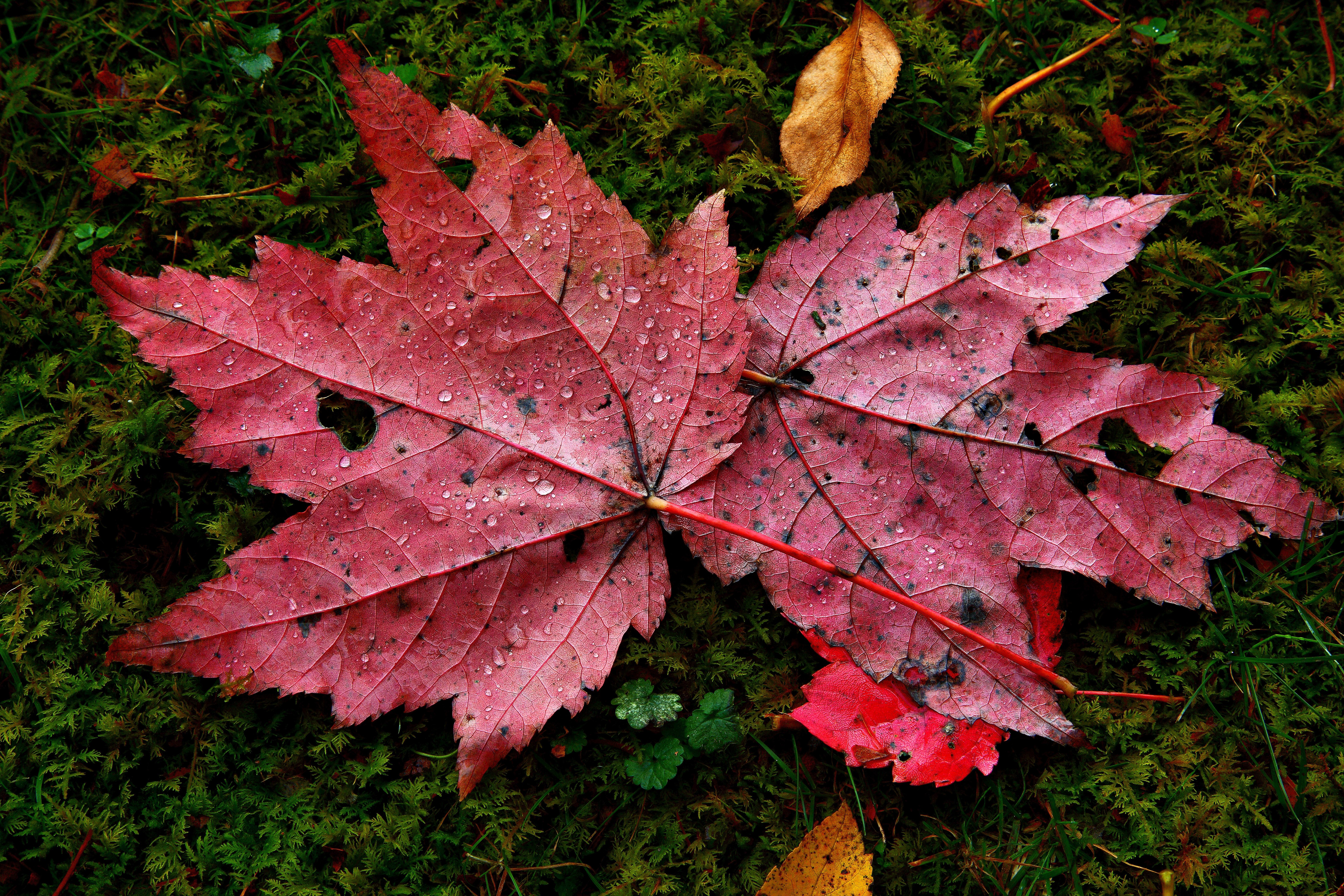 File:Red-autumn-maple-leaves-water-drops-moss