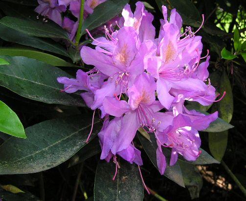 fleur du rhododendron ponticum