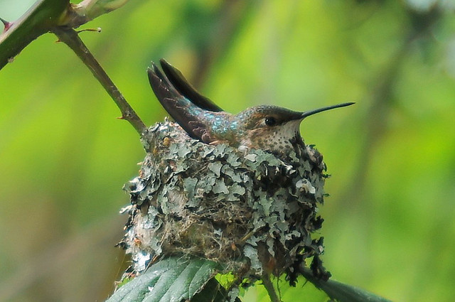Rufous hummingbird (female nesting)