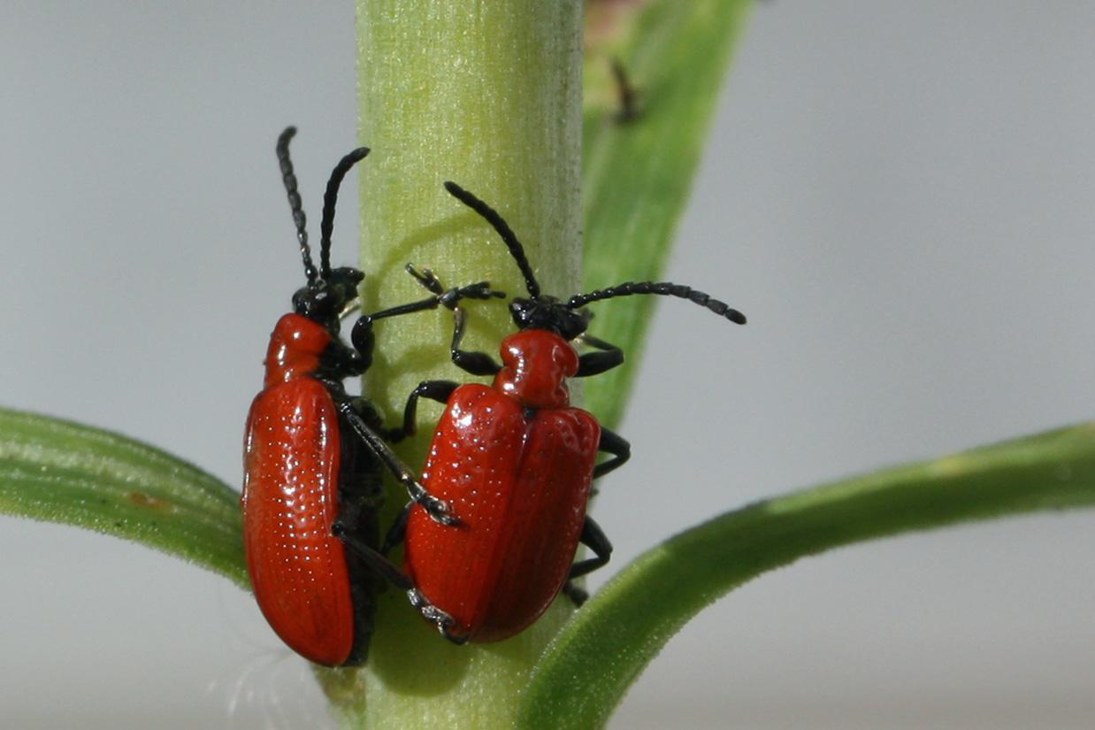 Scarlet lily beetle lilioceris lilii.jpg