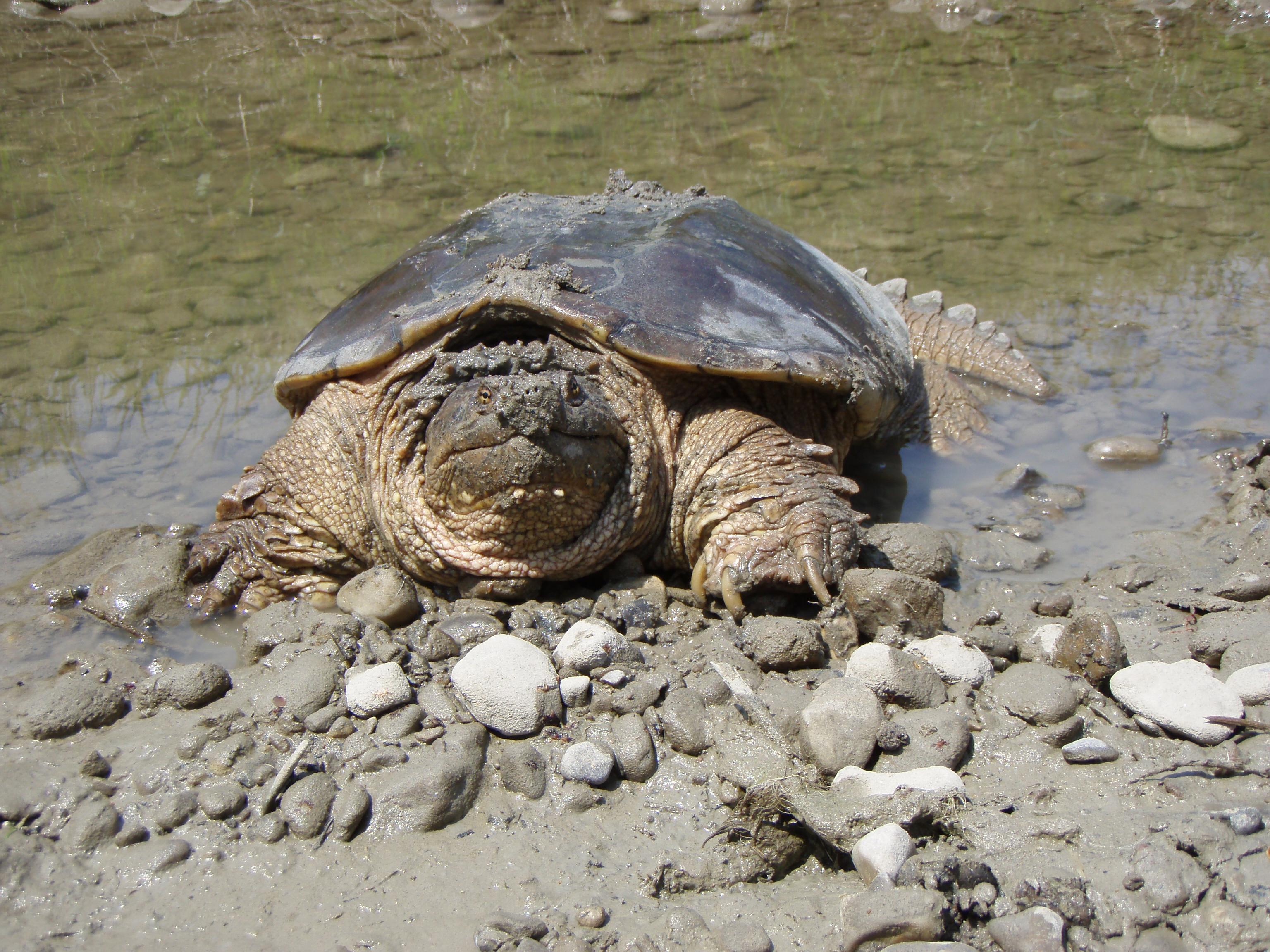 a look at the history of the alligator snapping turtle If you find an alligator snapping turtle text a photo and the location of the snapping turtle to 281-302-8033 please don't call before you submit a photograph and the location of the alligator snapping turtle.