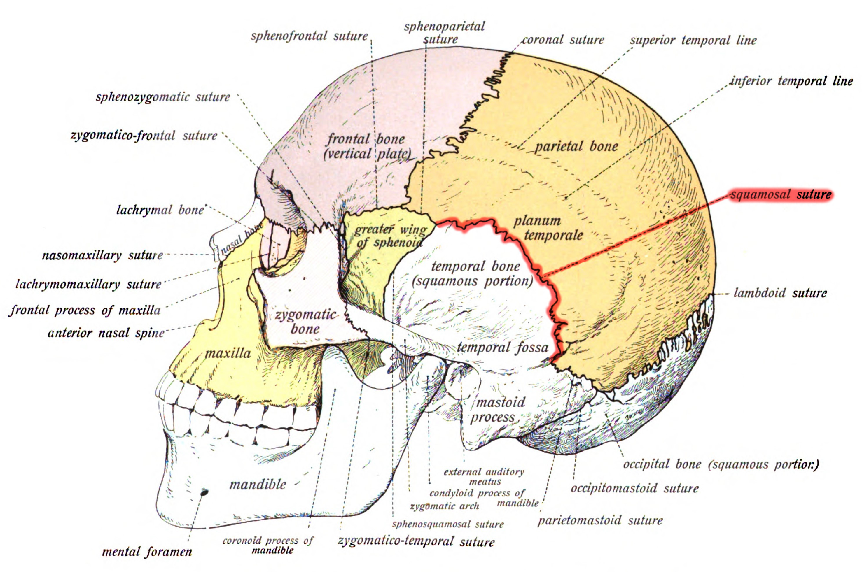 Human joints anatomy