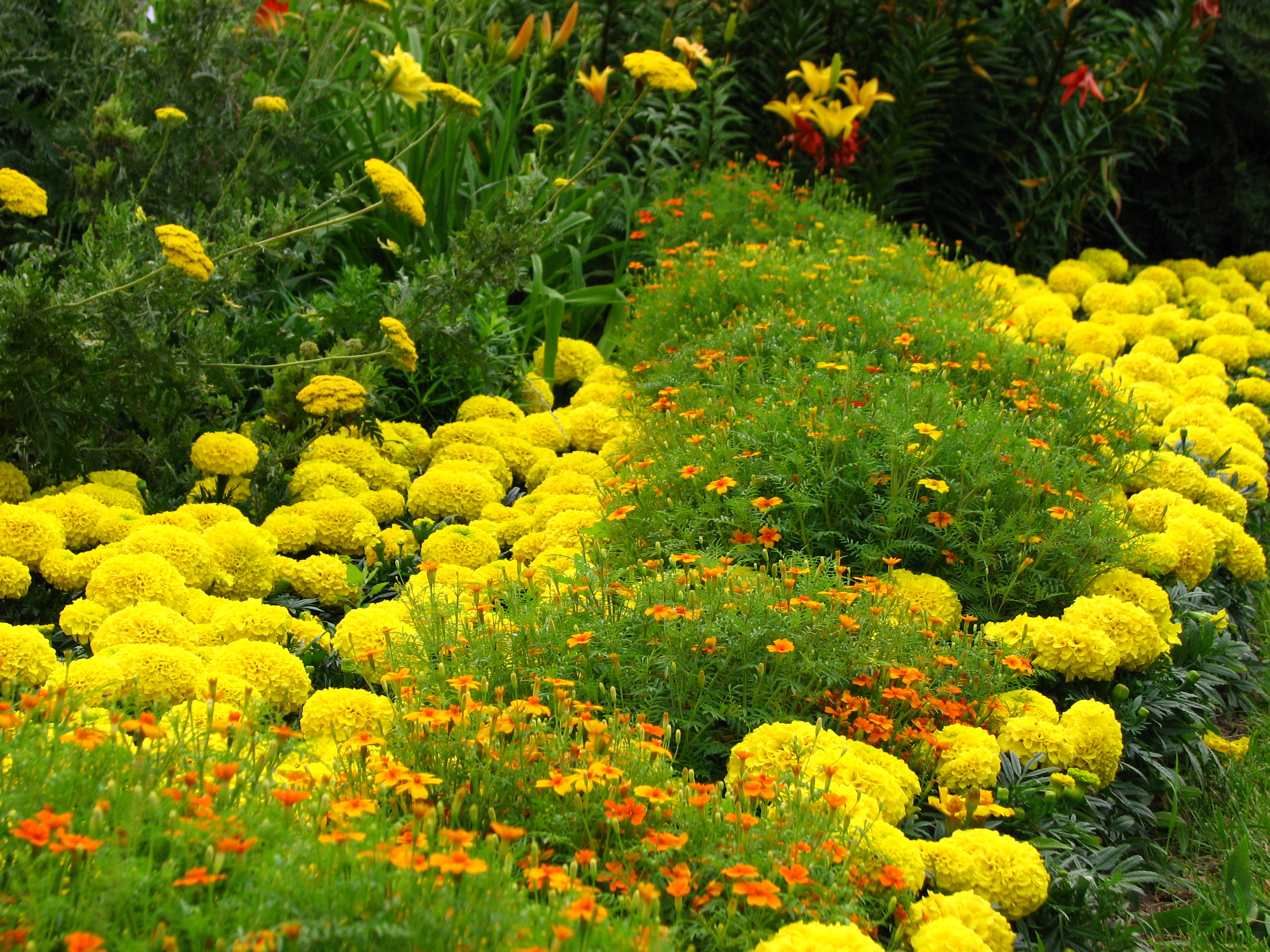 Описание tagetes in flowerbed border 01 jpg
