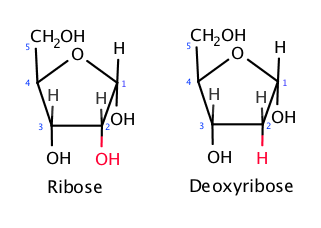 File:The difference between ribose and deoxyribose.png