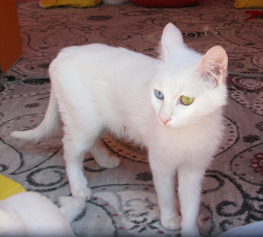 Aegean Cat For Sale