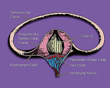 external image Vestibular_system%27s_semicircular_canal-_a_cross-section.jpg