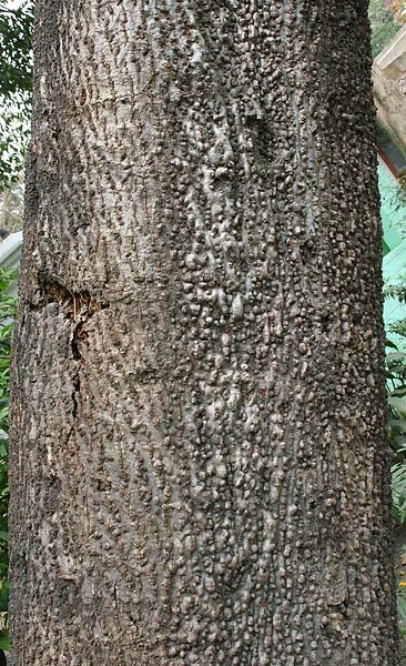 File:Yellow Silk Cotton (Cochlospermum religiosum) trunk in Kolkata W IMG 4248.jpg