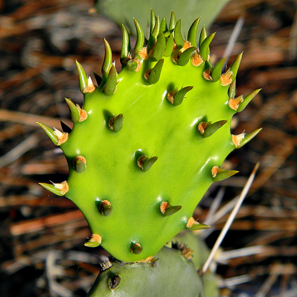 Natural Prickly Pear Extract Oil