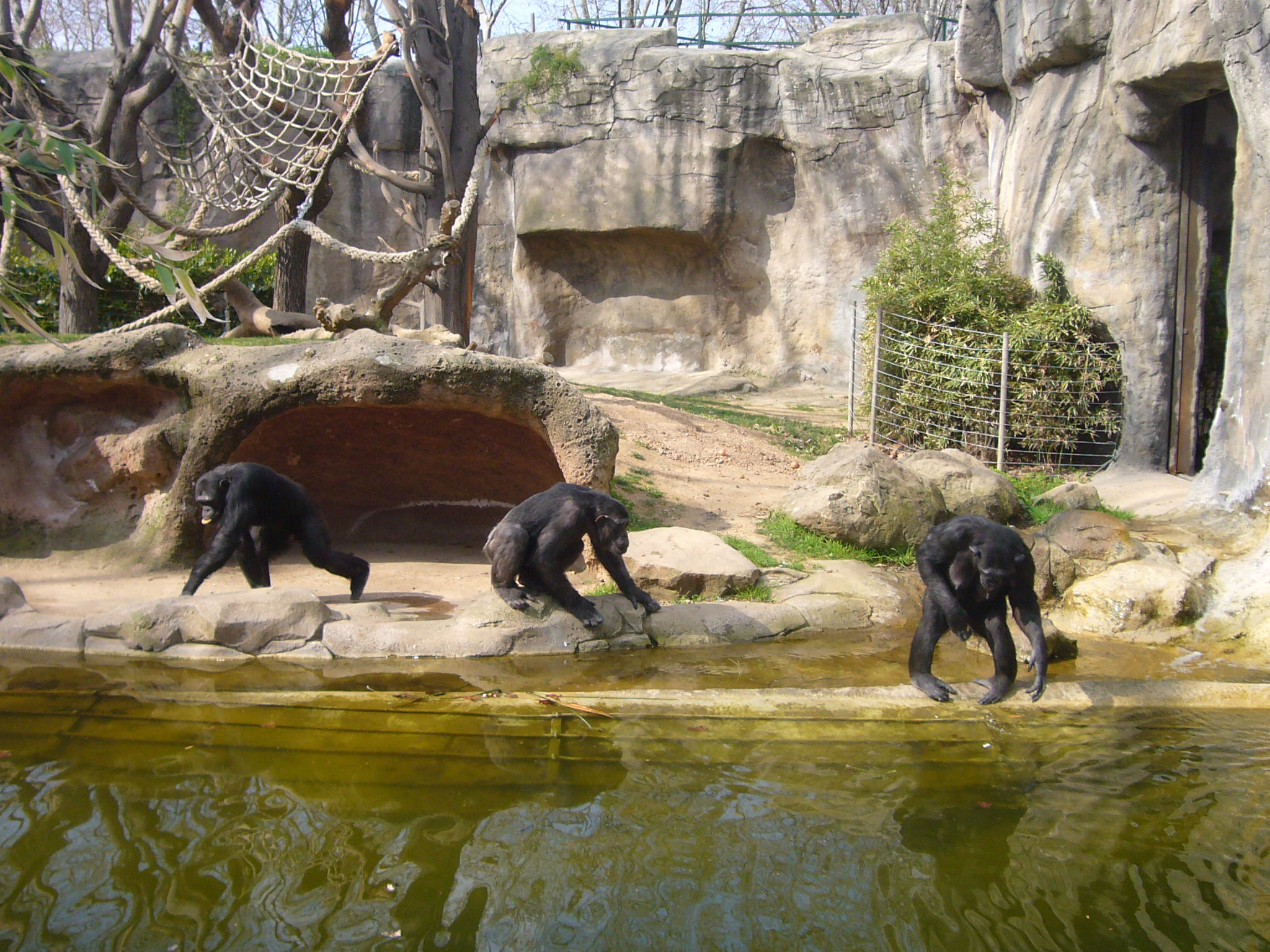 Chimps at Barcelona Zoo Zoo