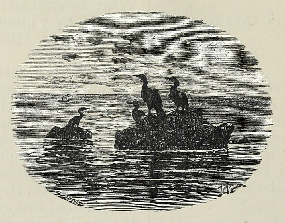 image of cormorants on a rock in the sea
