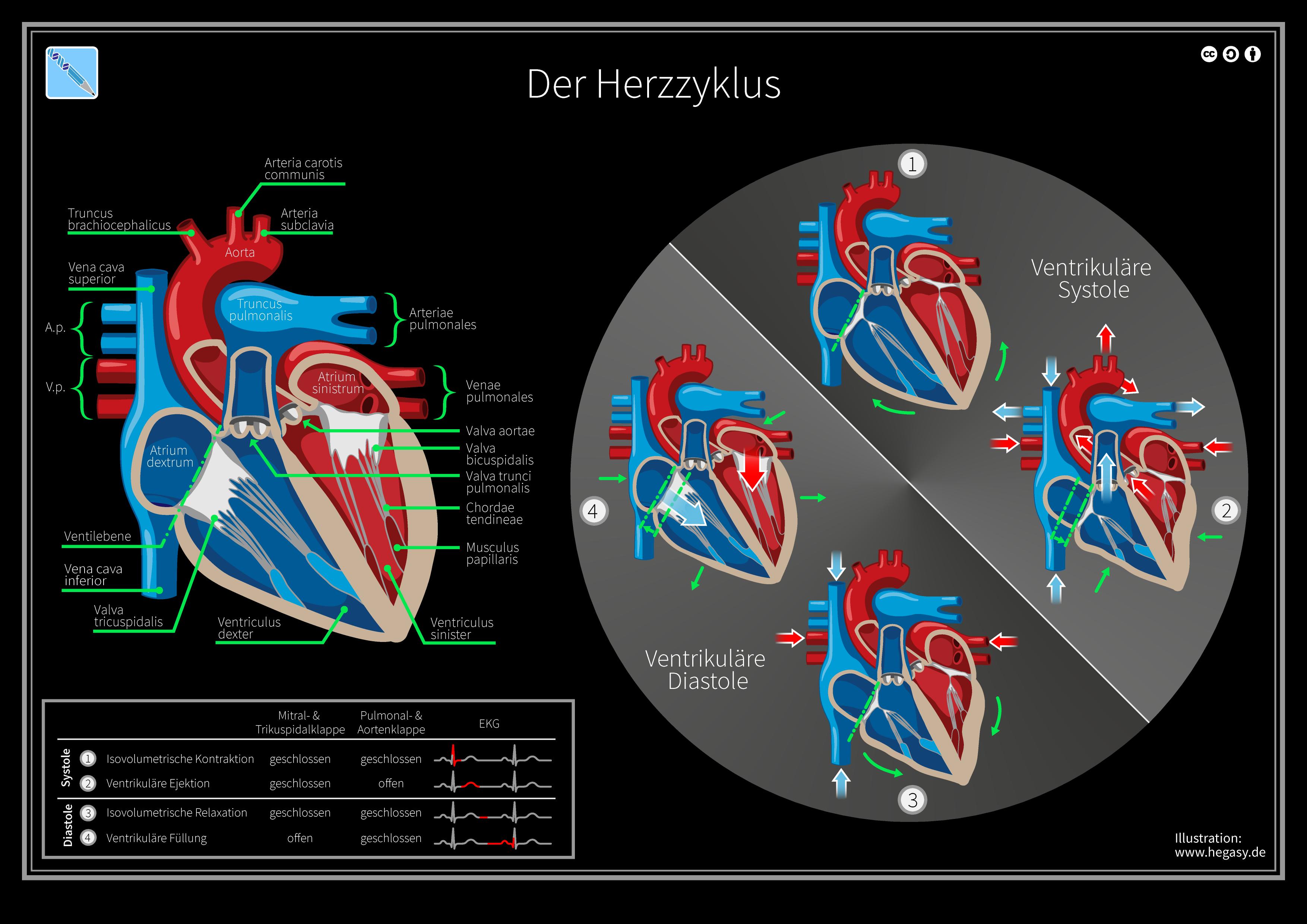 Herz – Wikipedia