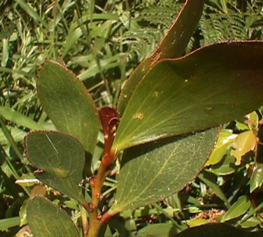 Acacia Phlebophylla Wikipedia