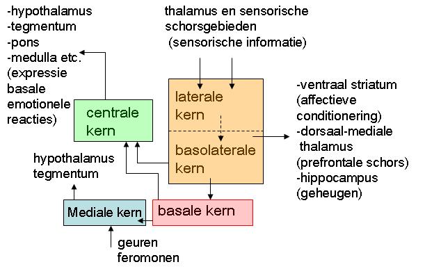 Amygdala Wikiwand