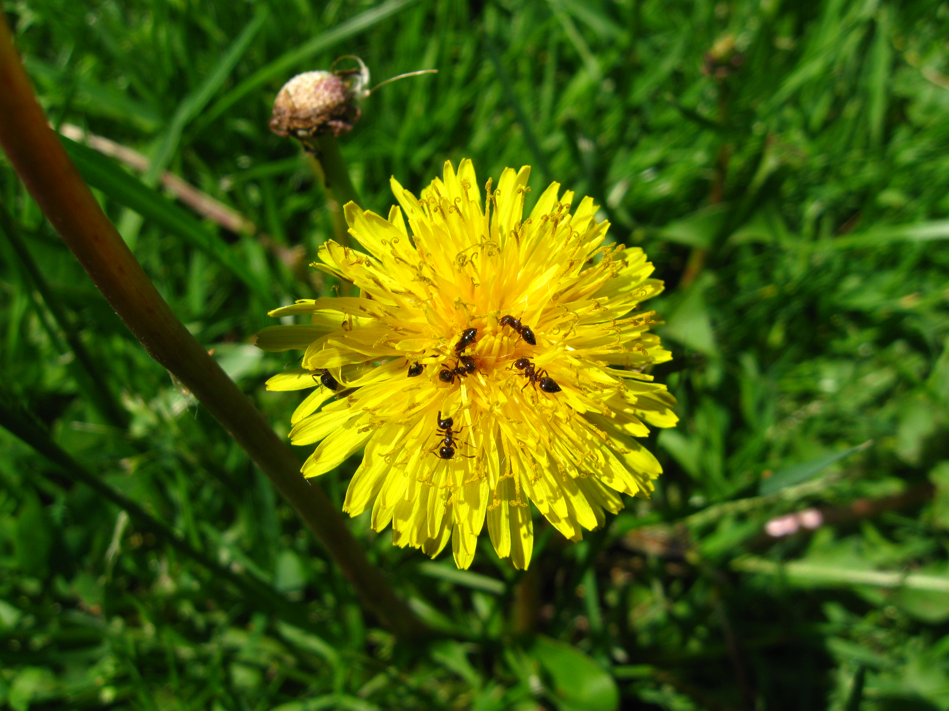 Ants may obtain nectar from flowers such as the dandelion but are only rarely known to pollinate flowers.