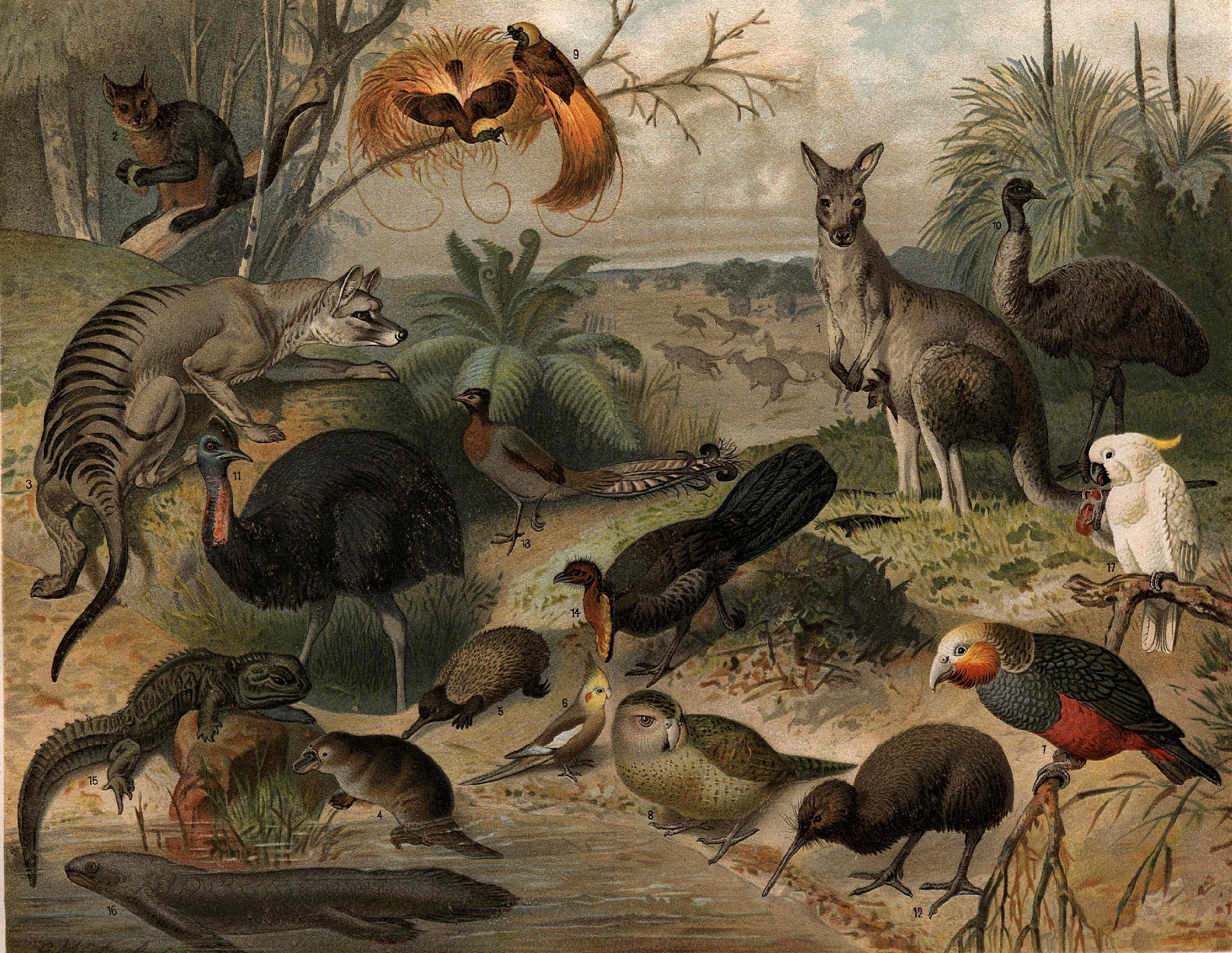File australisk fauna nordisk wikipedia for Flore definition