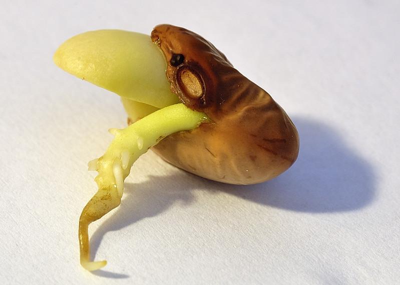 Картинка проросшего семени фасоли