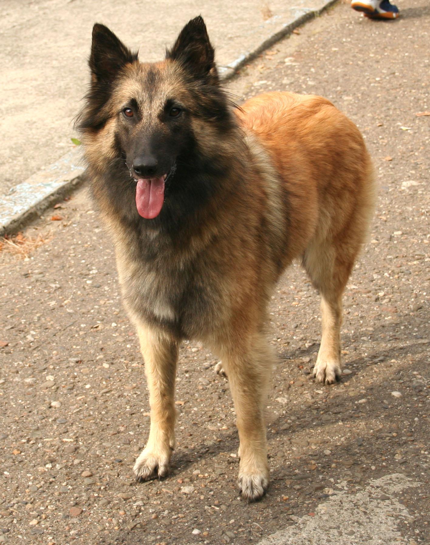 Informacion Perros e imagenes Nº24: Ovejero Belga