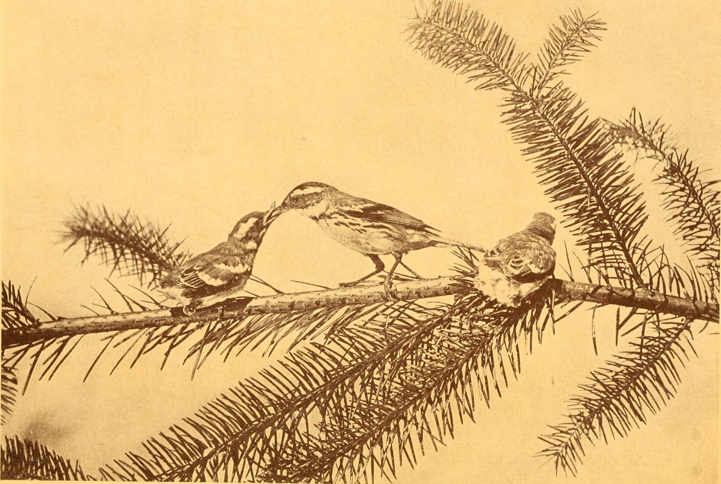 birds of the field