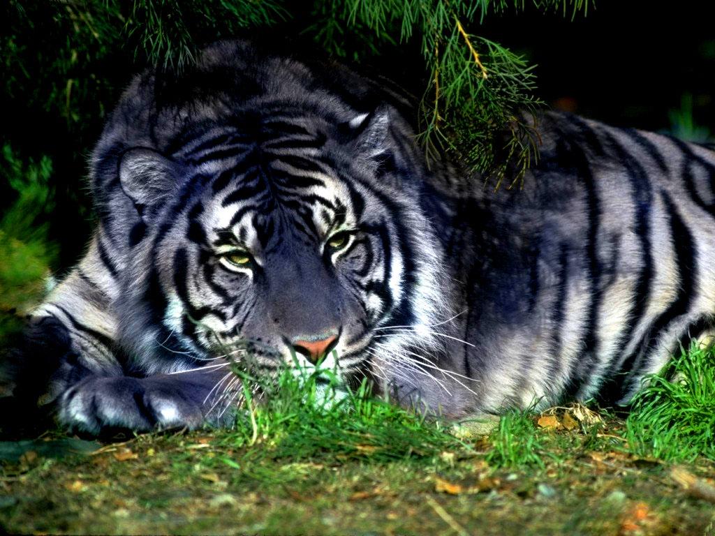 Blue tigers 1
