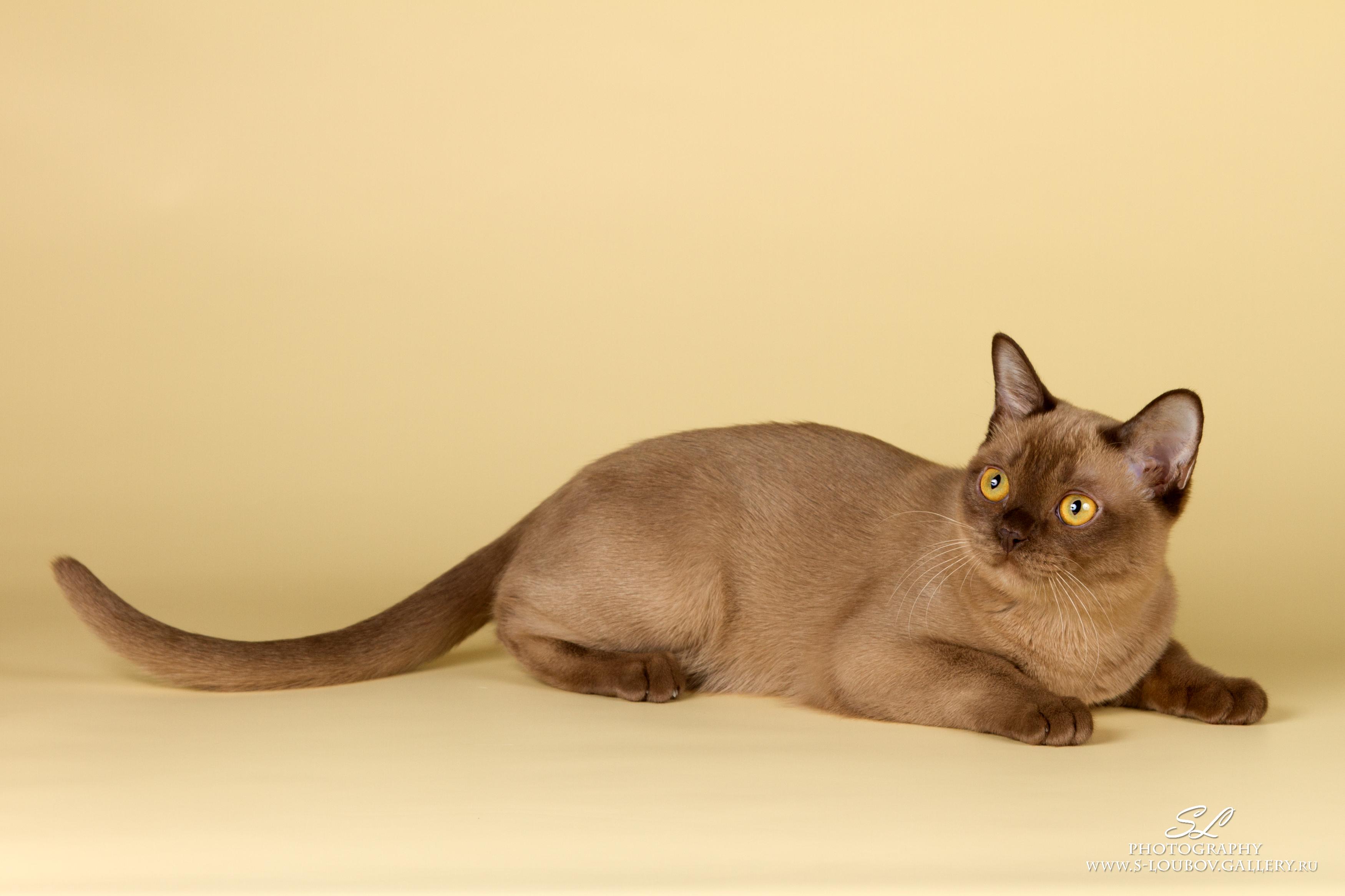 BurMau Vega Star, champagne burmese kitten.jpg